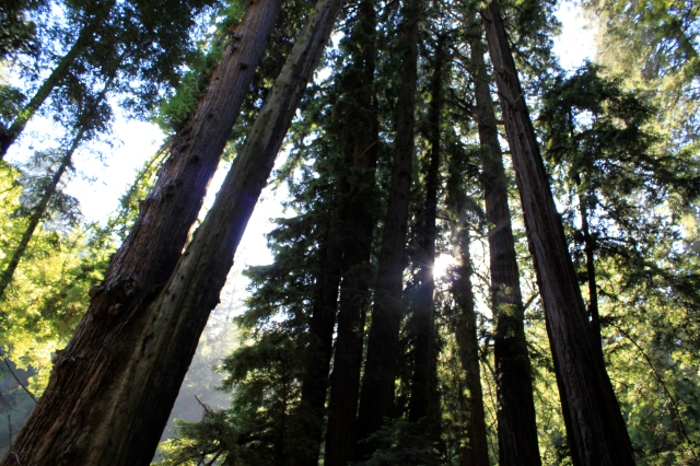 A Community of Redwoods stand in tribute to Giant who once stood there.