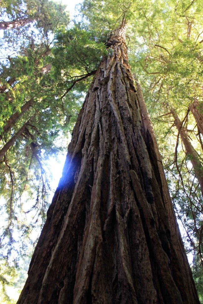 This Redwood reminds us that we must learn from the Giants who have come before us.